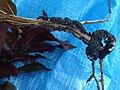 Plum (Purple leaf, Prunus sp.)- Black knot, caused by Apiosporina morbosa (1).jpg