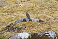 Plumbeous Sierra-Finch (Phrygilus unicolor) (4856387829).jpg