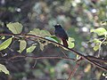 Plumbeous Water Redstart (2).jpg
