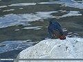 Plumbeous Water Redstart (Rhyacornis fuliginosa) (31962664584).jpg