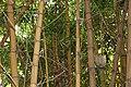 Poales - Bambusa vulgaris - 8.jpg
