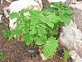 Podophyllum hexandrum (Betty Ford Alpine Gardens).jpg