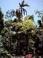 Pohon Tembaga Hutan Mangli, Banyumas.jpg