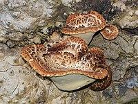 Polyporus squamosus 2013 G1.jpg