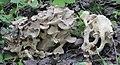 Polyporus umbellatus 66485182.jpg
