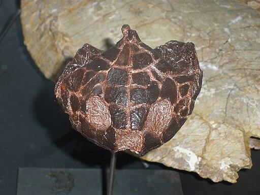 Polysternon provinciale skull