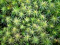 Polytrichum juniperinum.jpg