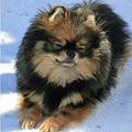 Pomeranian Black And Tan.jpg