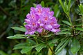 Pontisk rododendron (Rhododendron ponticum)-1 - Flickr - Ragnhild & Neil Crawford.jpg