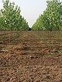 Poplar Plantation - panoramio.jpg