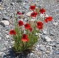 Poppies (32535234072).jpg