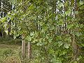 Populus.x.canadensis.leaf.jpg