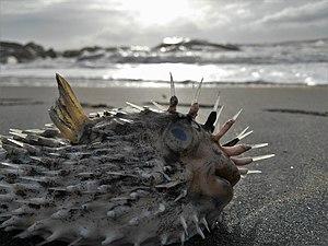 Porcupinefish - Image: Porcupine fish