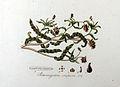 Potamogeton crispum — Flora Batava — Volume v8.jpg