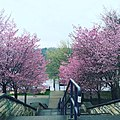 Potsdam Cherry Trees.jpg