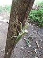 Praying.Mantis.jpg