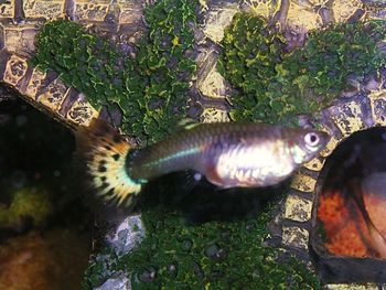 English: Pregnant guppy at about 26 days, name...