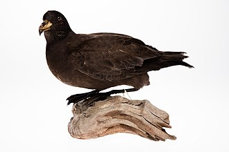 Black petrel - Black petrel mount from the collection of Auckland Museum