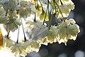 Prunus lannesiana 'Grandiflora'-Ukonzakura,ウコン桜8961.JPG