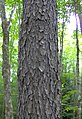 Prunus serotina bark small.jpg