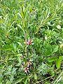 Prunus tenella sl2.jpg