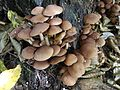 Psathyrella piluliformis a3 (6).jpg
