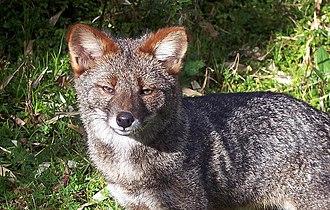 Darwin's fox - A male Darwin's fox in Ahuenco, Chiloé Island, Chile
