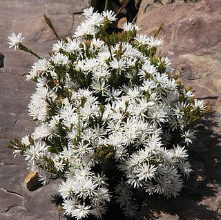 <i>Pseudanthus</i> genus of plants
