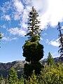 Pseudotsuga menziesii var. menziesii Infested by Arceuthobium campylopodum near Blewett Pass summit Kittitas County Washington.jpg