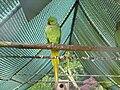 Psittacula.krameri-01-Castolovice.Jpg
