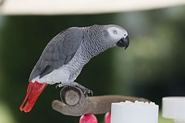 Psittacus erithacus -pet on perch in garden-8a.jpg