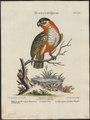 Psittacus melanocephalus - 1700-1880 - Print - Iconographia Zoologica - Special Collections University of Amsterdam - UBA01 IZ18600075.tif