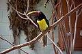 Pteroglossus viridis -Tulsa Zoo, Oklahoma, USA-8a.jpg