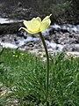Pulsatilla alpina subsp. apiifolia 04.jpg