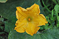 PumpkinFlower.jpg
