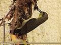 Purple Sunbird (Cinnyris asiaticus) (15271106884).jpg
