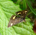 Pyrausta aurata - Flickr - gailhampshire (3).jpg