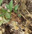 Pyrausta despicata - Flickr - gailhampshire.jpg