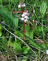 Pyrola minor (common wintergreen) - Flickr - S. Rae.jpg