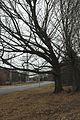 Quercus shumardii (24204857415).jpg