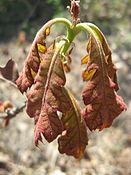 Quercus velutina leaves.jpg