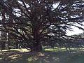 Questo albero secolare.jpg