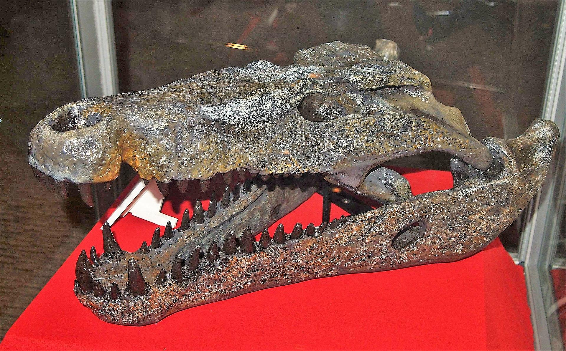 https://upload.wikimedia.org/wikipedia/commons/thumb/3/30/Quinkana_timara_skull.jpg/1920px-Quinkana_timara_skull.jpg
