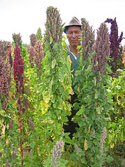 Quinoa farmer in Cachilaya