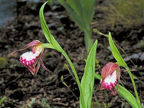 Description de l'image Ram's-Head Lady's-Slipper (Cypripedium arietinum).jpg.