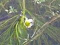 Ranunculus aquatilis Enfoque 2011-2-13 DehesaBoyaldePuertollano.jpg