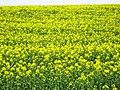 Rape crop flowering - geograph.org.uk - 1829573.jpg