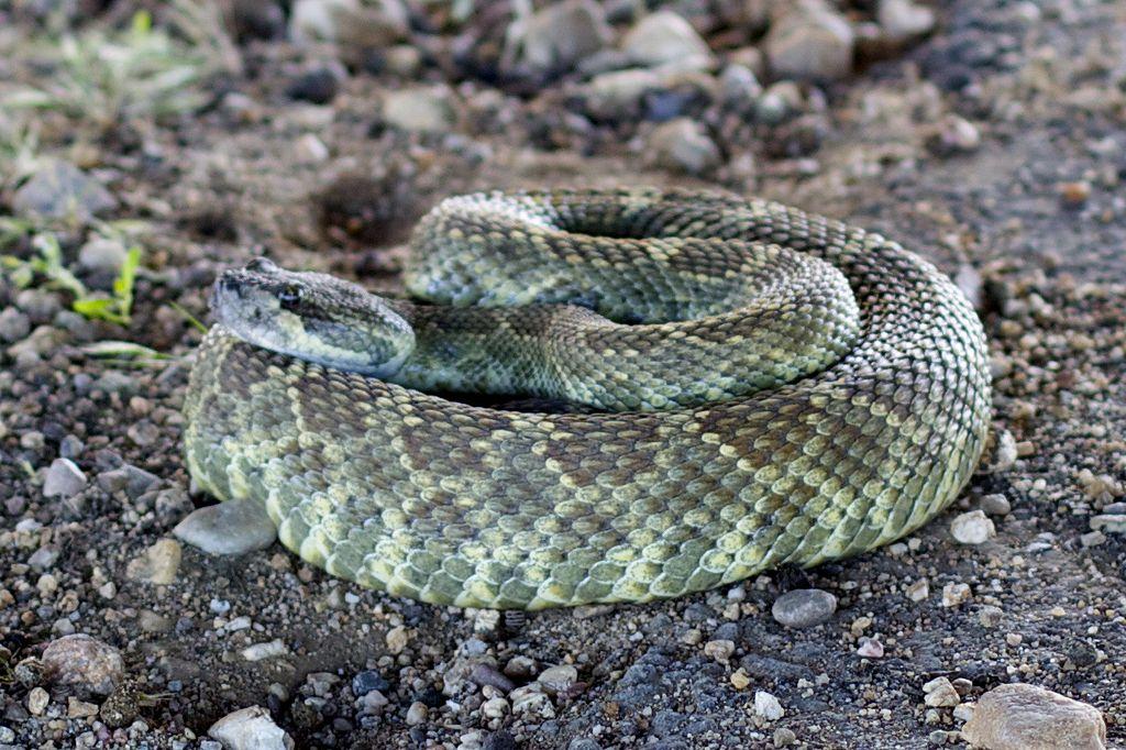 Rattlesnake in Camp Roberts -c