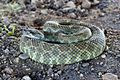 Rattlesnake in Camp Roberts -c.jpg
