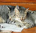 Rayong Thailand Cats on island of Kho Samet.jpg